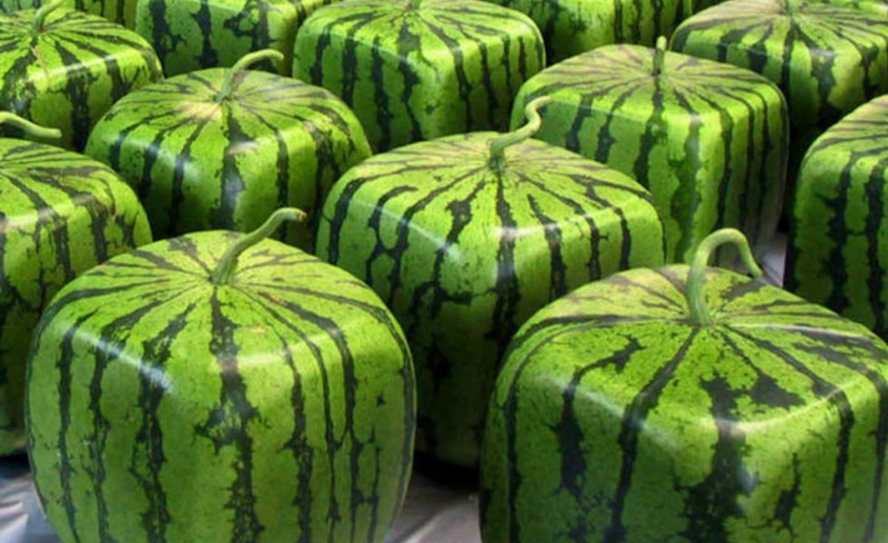 Ee7abddbad51047731ee349d18509c76ffc9a895 pepenele patrat square watermelon 980x600